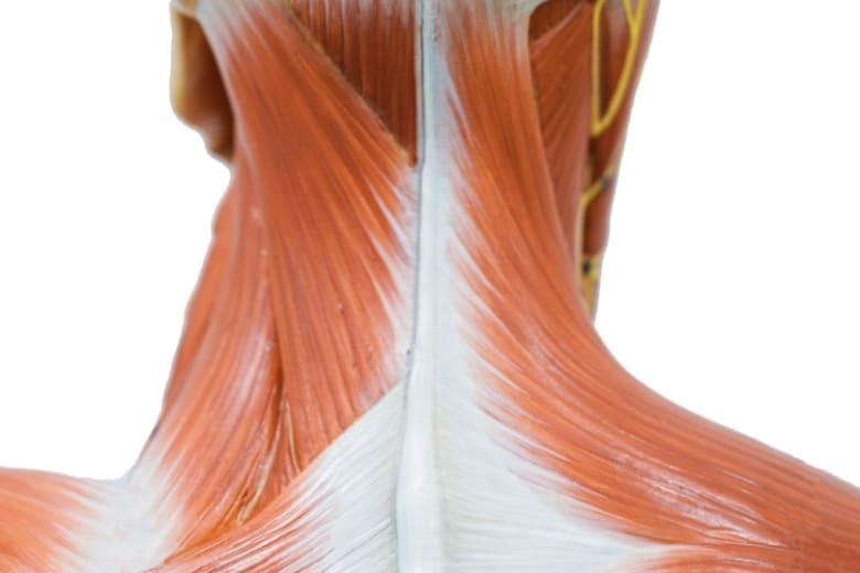 写真:実践解剖学